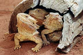 Alice Springs Reptile Centre - Tourism Gold Coast