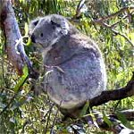 Koala Conservation Centre - Tourism Gold Coast