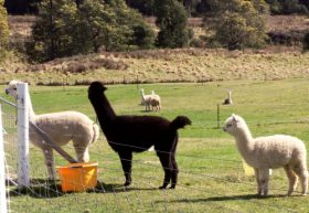 Maydena Country Cabins Accommodation  Alpaca Stud - Tourism Gold Coast