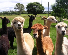 Banyandah Alpacas - Tourism Gold Coast