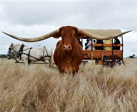 Texas Longhorn Wagon Tours and Safaris - Tourism Gold Coast
