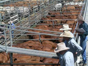 Dalrymple Sales Yards - Cattle Sales - Tourism Gold Coast