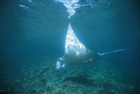 Manta Ray Bay Dive Site - Tourism Gold Coast