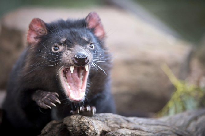 Port Arthur and Tassie Devils Active Day Tour from Hobart - Tourism Gold Coast
