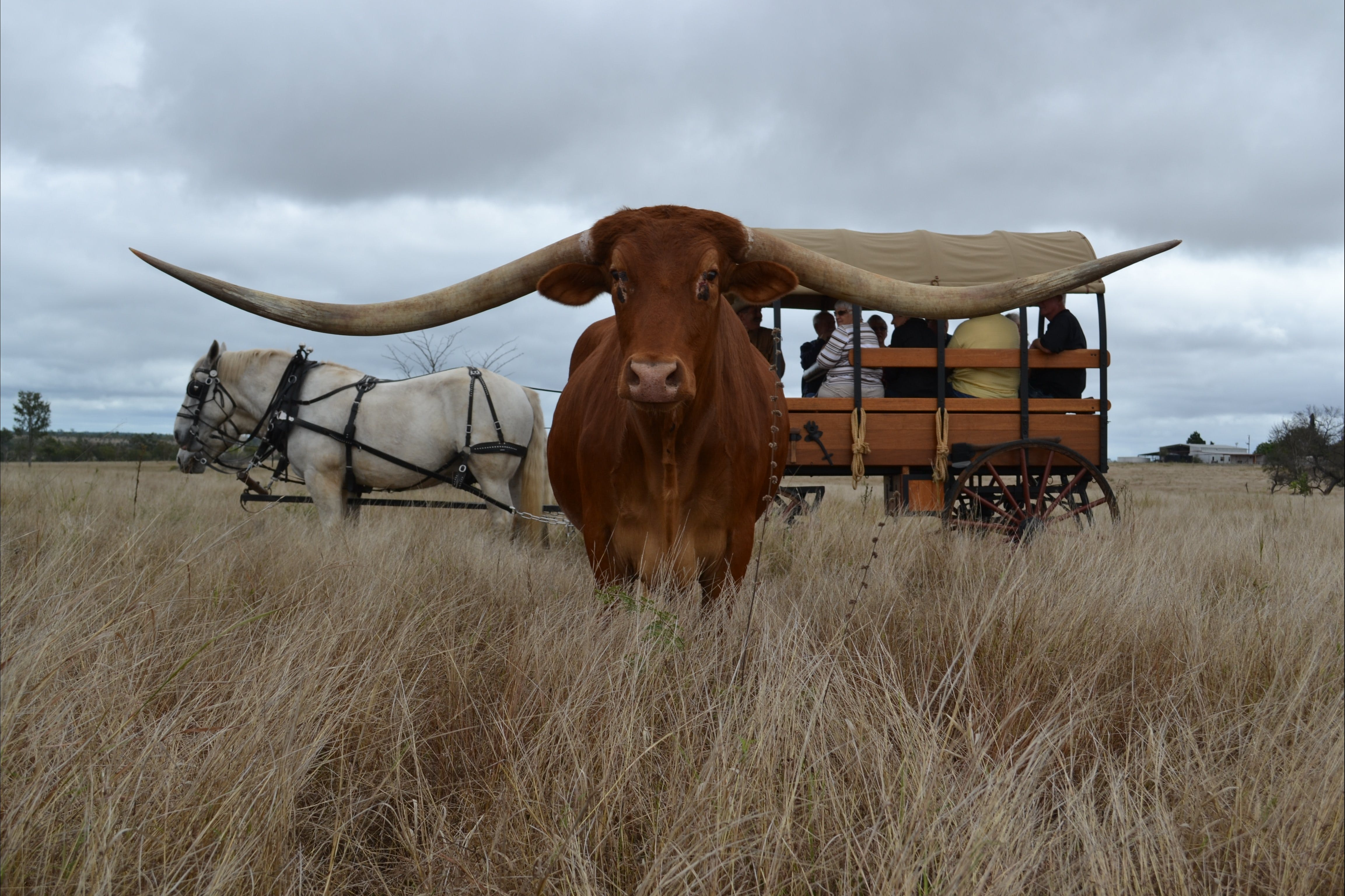 Texas Longhorn Tours - Tourism Gold Coast