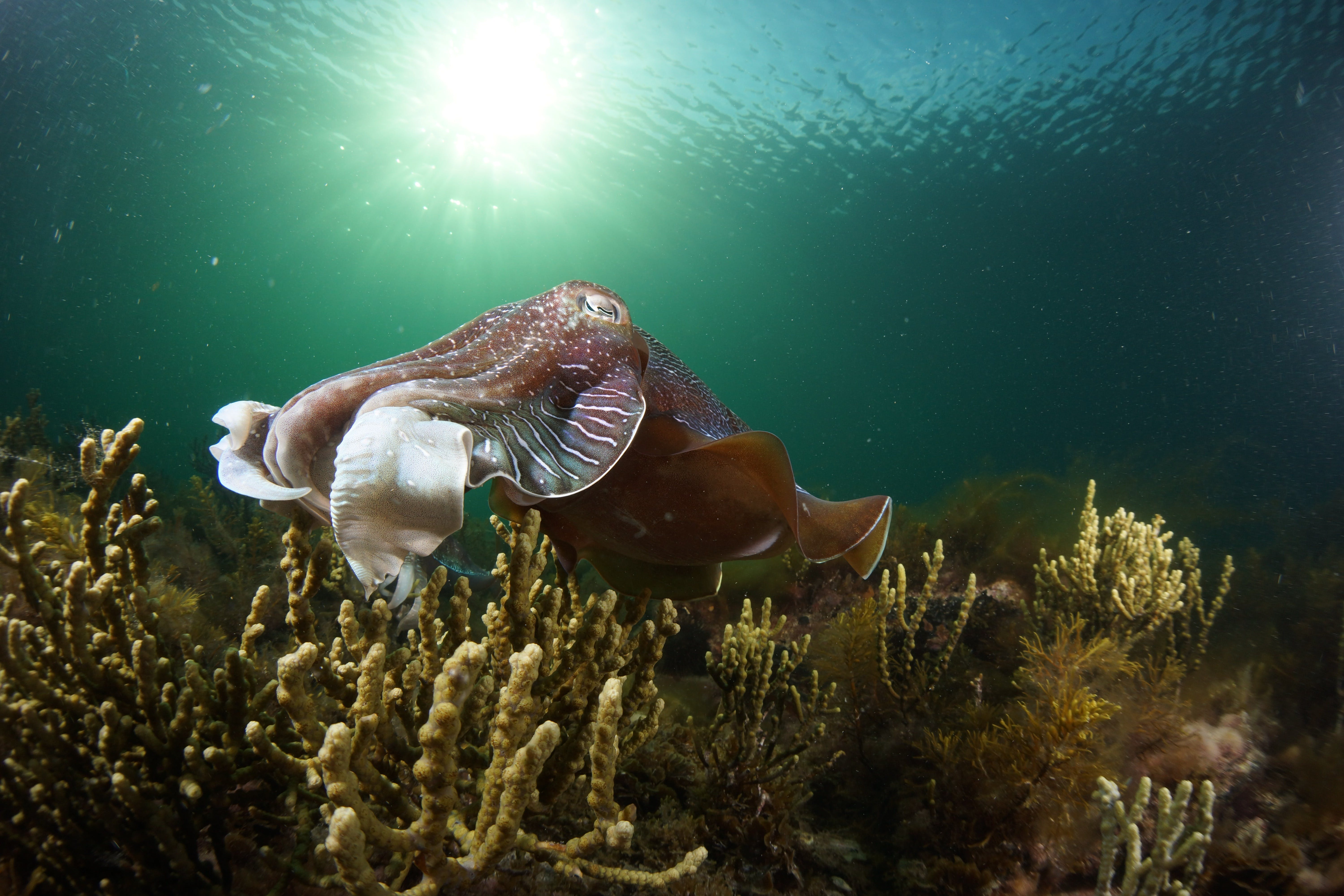 Cuttlefish Diving  Snorkeling EVERYDAY May -August - Tourism Gold Coast